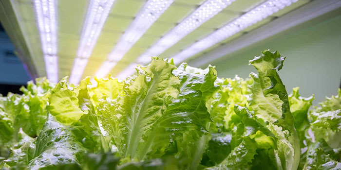 How Much Light Does Hydroponic Lettuce Need?