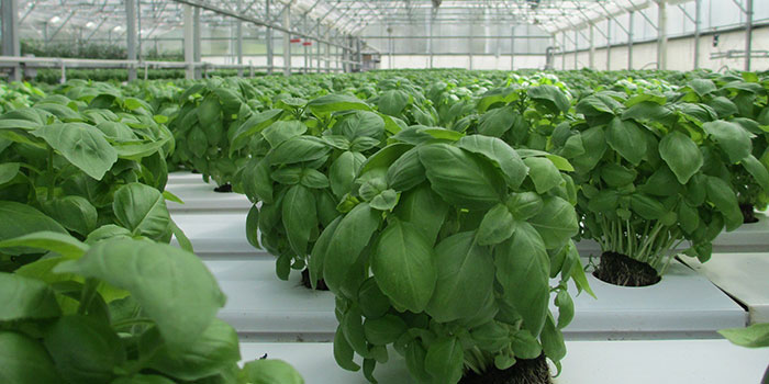 How Long Does Basil Take To Grow Hydroponically?