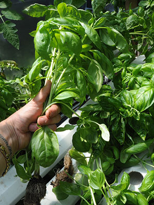 How To Grow Basil Hydroponically - Step By Step Guide