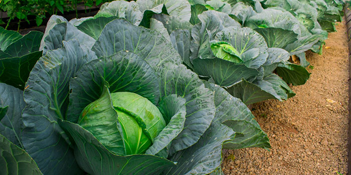 Why Grow Hydroponic Cabbage?