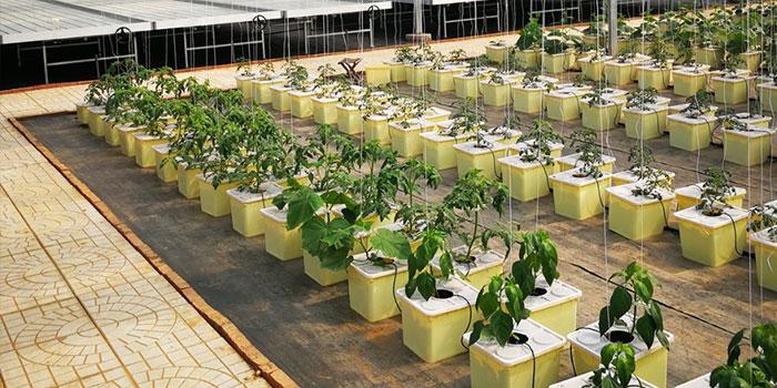 Hydroponic Grapes Propagation - Seeds vs Clones