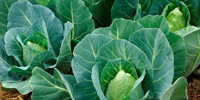 Can Cabbage Be Grown Hydroponically?