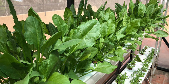 Start By Choosing The Best Hydroponic System For Spinach