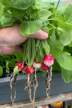How Do You Start Hydroponic Radishes?