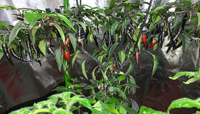 How Much Light Do Hydroponic Peppers Need?