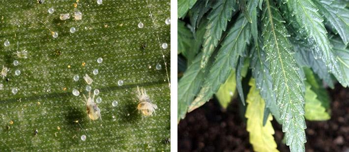 Spider Mite Infestation