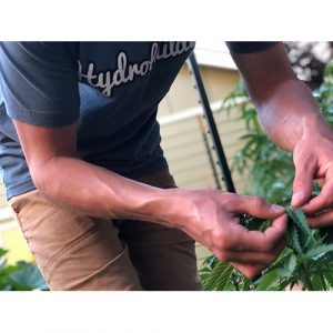 inspect weed