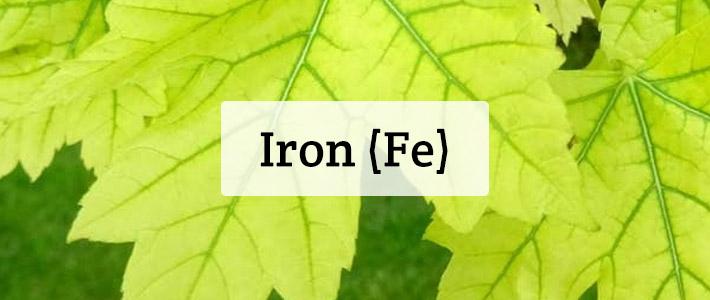 Iron (Fe) Nutrient Deficiencies In Plants - Hydrobuilder
