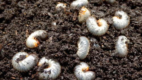june bugs grubs are white, curled up critters you can find in your grow media