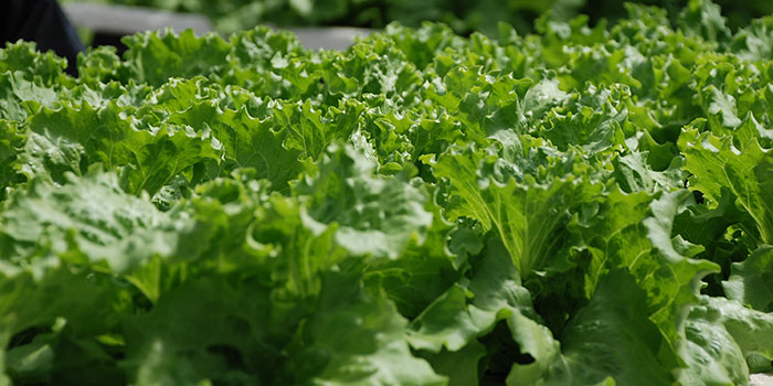 How Long Does Lettuce Take To Grow Hydroponically?