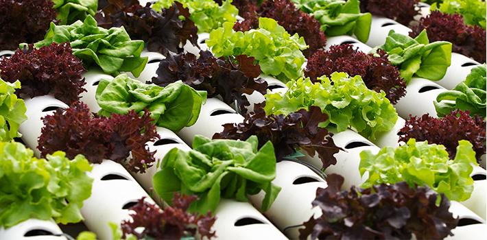Lettuce Grown in NFT Hydroponic System