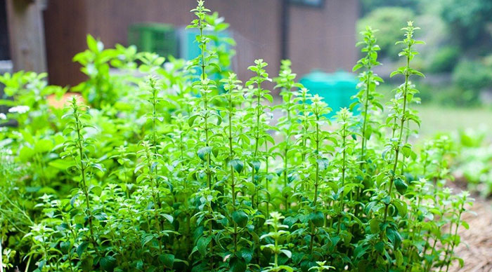 What Are The Best Oregano Varieties To Grow?