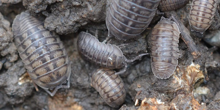 How To Get Rid Of Pill Bugs In The Garden Naturally