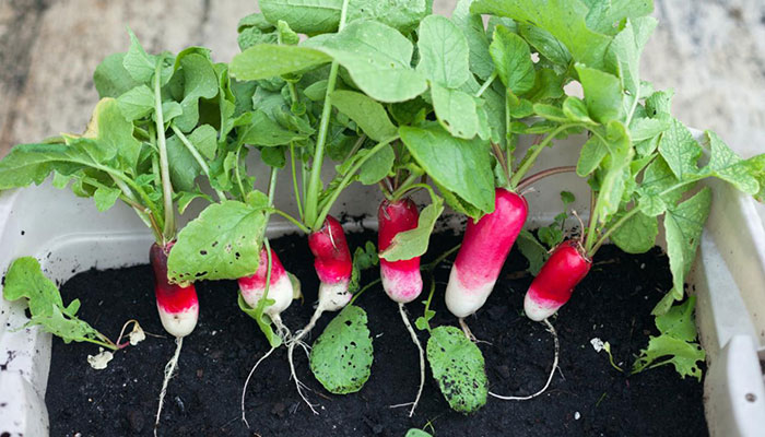 How Much Light Do Hydroponic Radishes Need?