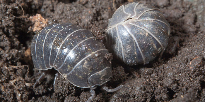 How To Prevent A Pill Bug Infestation In The First Place