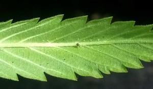spider-mite-eggs-back-of-cannabis-leaf