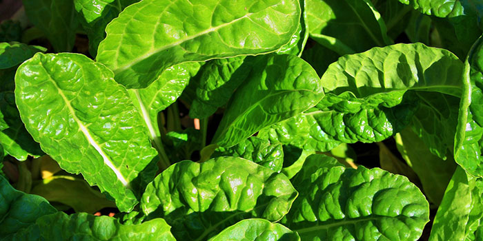 Can Spinach Be Grown Hydroponically?