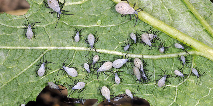 What Damage Can Squash Bugs Do In The Garden?