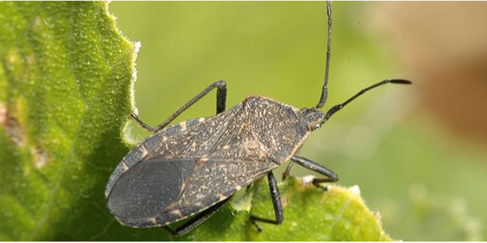 How To Get Rid Of Squash Bugs In The Garden Naturally