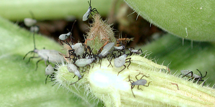 How To Prevent A Squash Bug Infestation In The First Place