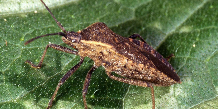 What Are Squash Bugs?
