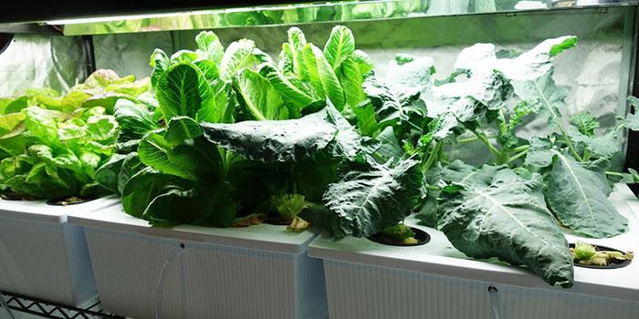 Hydroponic Broccoli Propagation - Seeds vs Clones