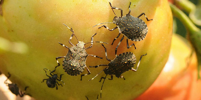 What Plants Are Stink Bugs Attracted To?