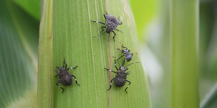What Damage Can Stink Bugs Do In The Garden?