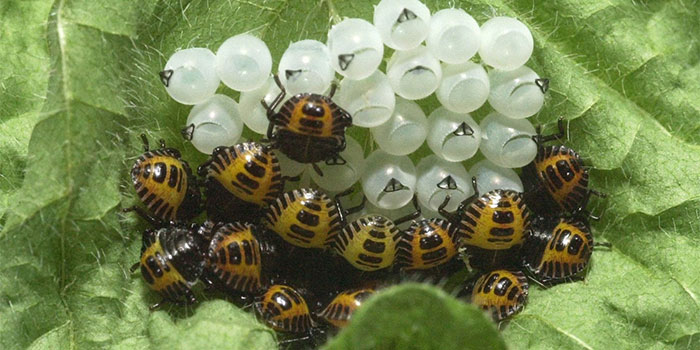 Get Rid Of Stink Bugs In The Garden Naturally