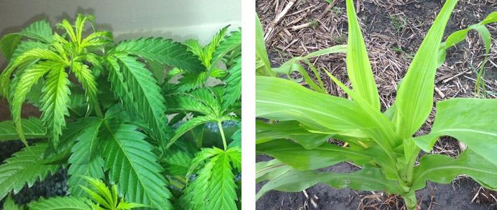 Sulfur (S) Nutrient Deficiencies In Plants - Hydrobuilder