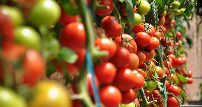 What You'll Need To Start Cloning Tomato Plants