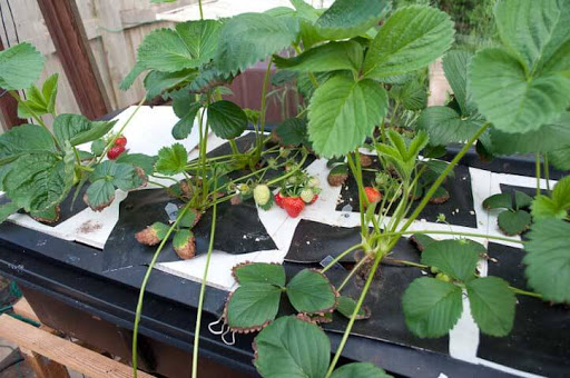 What is the best hydroponic system for strawberries?