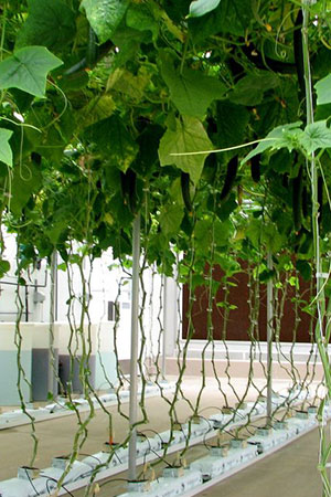 Tips For Growing Cucumbers Hydroponically