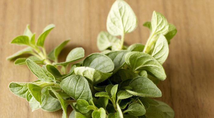 What Are Oregano Plants?