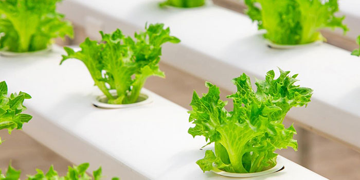 Is Hydroponically Grown Lettuce Good For You?
